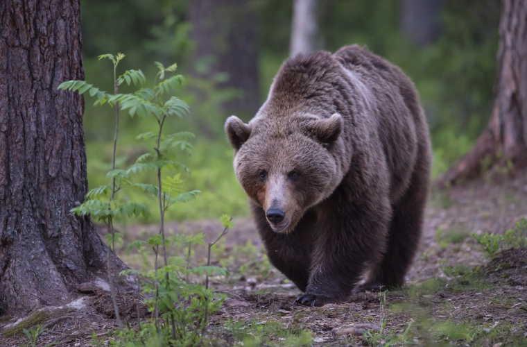 Caratteristiche dell' orso bruno europeo | Fauna, caccia, pesca